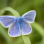 a macro shot of an adonis blue butterfly resting on a blade of grass