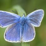 close-up macro of an adonis blue butterfly highlighting its furry body