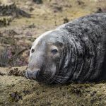 close-up of a grey seal resting on a rock