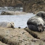 grey seal and a cub resting on rocks with sea in the background