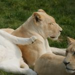 white lionesses lying down, one with leg over another