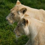 two white lionesses semi-lying down