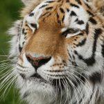 close-up of an amur tiger face