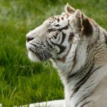 side profile of a white tiger with eyes semi-closed