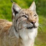 close-up of a eurasian lynx featuring the face