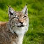 close up of a eurasian lynx with ear tufts