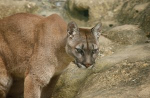 grumpy looking puma with greenish eyes