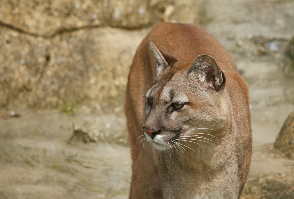 a puma (or mountain lion) on faux rocks