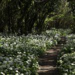 path through a shady woodland of wild garlic