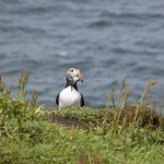 puffin with sand eels in its beak