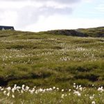 field of bog cotton in the foregound leading up to the top half a cottage peaking through in the background