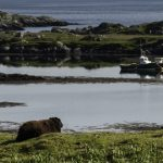brown sheep in foreground with small boat and islands among the sea in the background