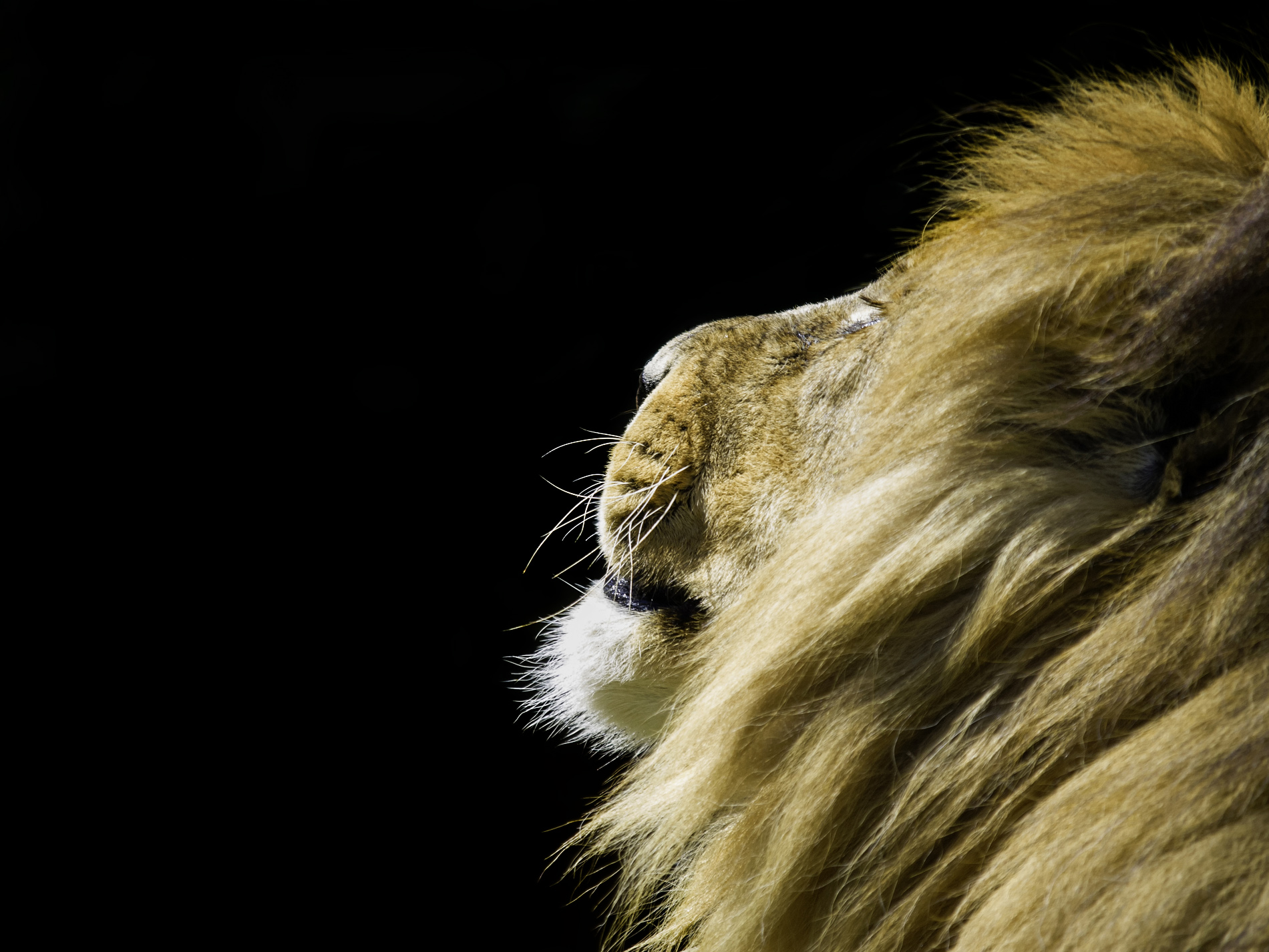 side profile of an african lion lit by the sun with a black background