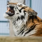 tiger snarling with face turned upwards