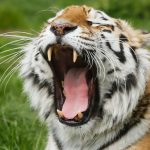 tiger yawning with big teeth on show