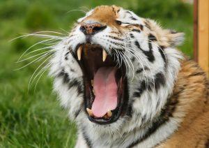 tiger yawning with big teeth on show