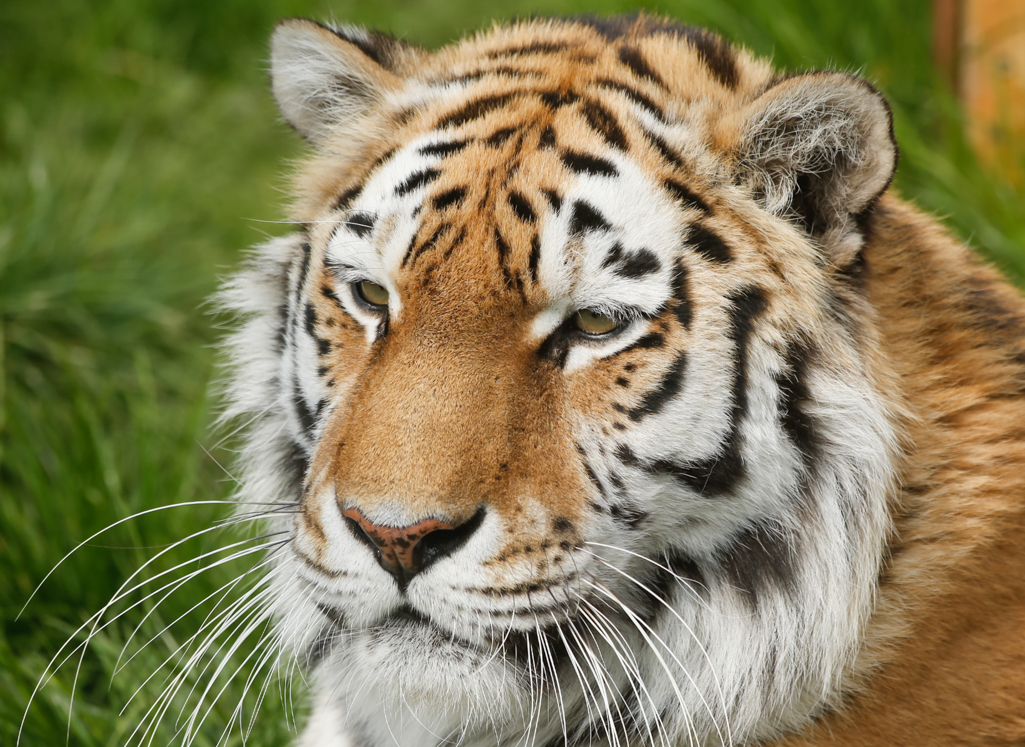 close up of a sleepy tiger face