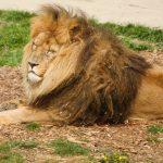 african tiger looking sleepy