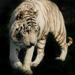 white tiger against a dark background