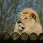 lion on a wooden perch looking to the left