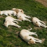 pride of white lionesses sleeping on a grassy mound