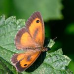 orange and brown butterfly on a vine leaf