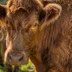 close up of a highland cow