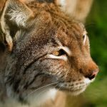 side view close up of a eurasian lynx looking to the right