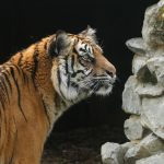 tiger looking curiously to the right by rocks
