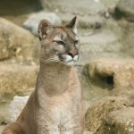 puma (mountain lion) sitting up on some rocks looking to the right