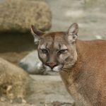 grumpy looking puma (or mountain lion) looking at the camera